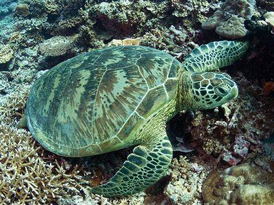 日本の絶滅危惧種 アオウミガメ
