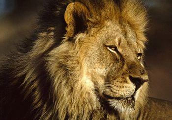 アフリカライオン