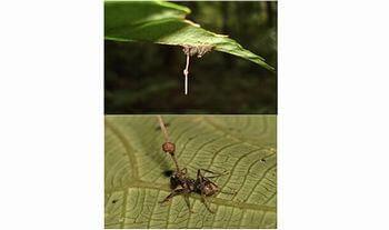 ゾンビ化する蟻がいる