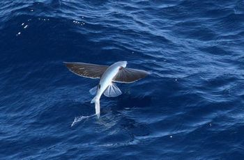 トビウオは500メートル近く空を飛ぶ