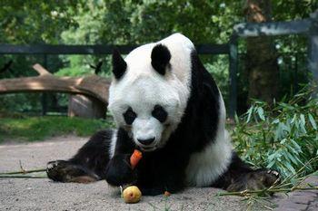 パンダの和名は白黒熊
