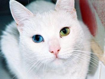 ヨーロッパでは白猫が不吉の象徴