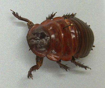 巨大なゴキブリ