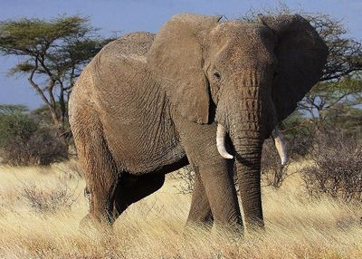 巨大なゾウ
