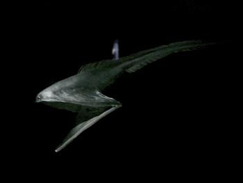 フクロウナギ