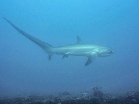 オナガザメ