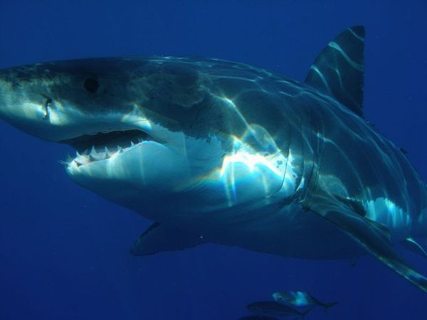 ジョーズに会ったらどうなるの?怖すぎる人食いザメの事故