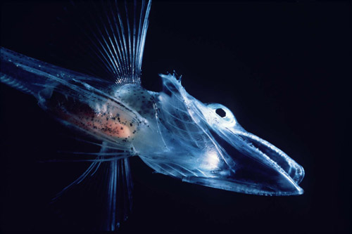 不思議な深海魚たち!怖いのキモいのかわいいの?