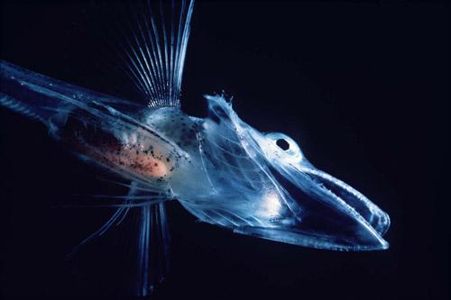 カラスな深海生物