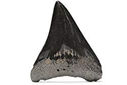 メガロドンの化石