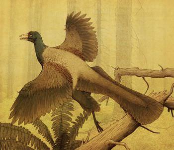 始祖鳥 羽毛