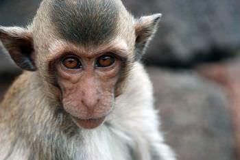 ヒマラヤの猿