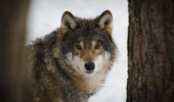 オオカミと犬の違い