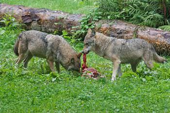 オオカミは家族で連携して狩りをする
