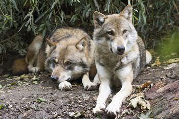 オオカミ つがい