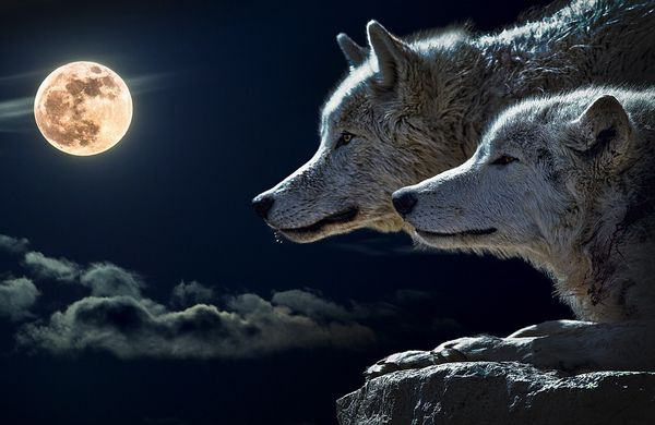 オオカミの種類と意外な生態!ペットの可否や犬との違いは?