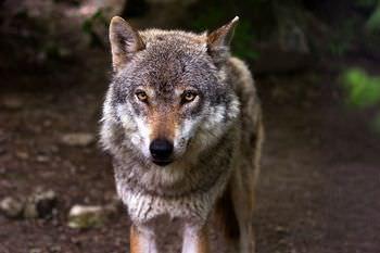 オオカミとは