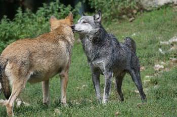 オオカミの序列は性格や態度で決まる