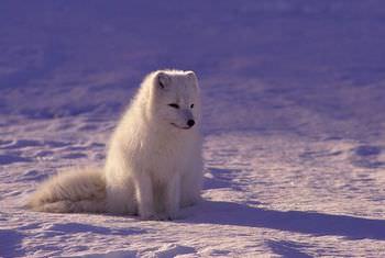 オオカミはペットにできる?