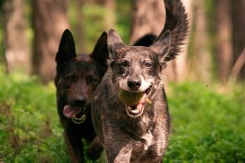 オオカミはボディランゲージも多様する