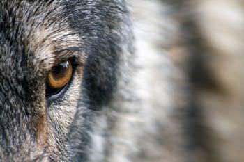 オオカミは声色を変えて別人を装う