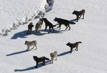オオカミ 生態