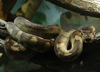 アメジストニシキヘビ