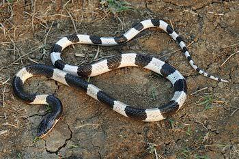 アマガサヘビ
