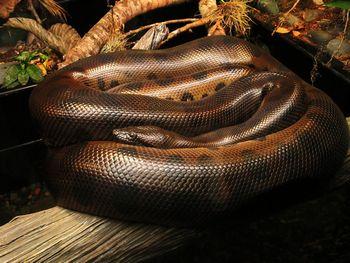 ヘビは獲物の呼吸に合わせて絞殺す